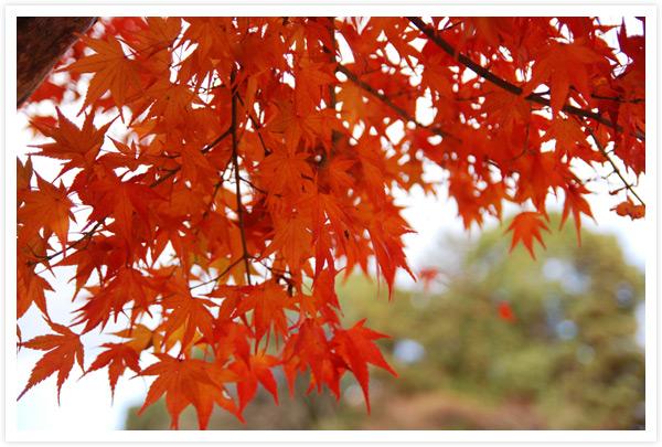 上賀茂神社参道脇の紅葉