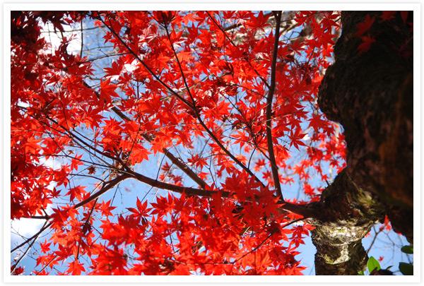 上賀茂神社幣殿前の紅葉